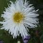 Leucanthemum_aglaia_