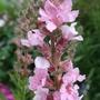 Lythrum_salicaria_blush_