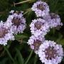 Verbena rigida 'Lilac Haze' (Verbena rigida)