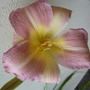 New_hemerocallis