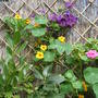 Clematis_and_nasturtiums_aug_09