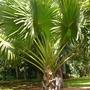 Corypha umbraculifera - Talipot Palm (Corypha umbraculifera - Talipot Palm)