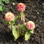 Not much left... (Zinnia Swizzle (Cherry & Ivory))