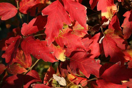 Acer Griseum leaves