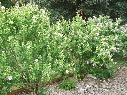 Hibiscus (Shrubby Mallow) (Hibiscus syriacus (Gurhul))