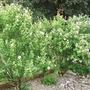 Hibiscus_bushes
