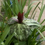 trillium (Trillium chloropetalum (Giant wakerobin))