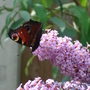 Its a Peacock Butterfly!!!