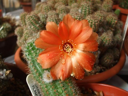A garden flower photo (chamaelobivia devon maid)