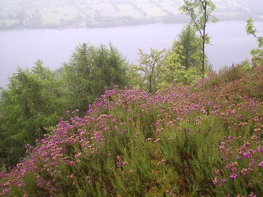 Wild Heather (Calluna vulgaris) (Calluna vulgaris (Heather))