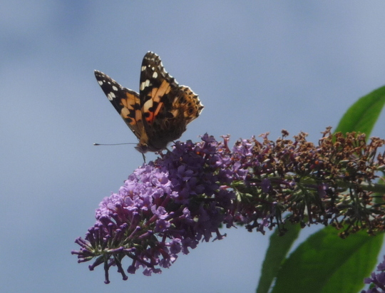 Attracting Painted Ladies to Yorkshire.