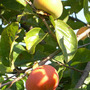 Persimmon_or_sharon_fruit