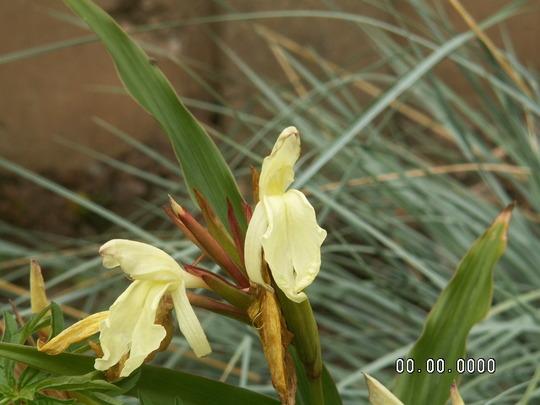 Roscoea (Roscoea cautleyoides (Roscoea))