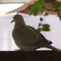 Wing Collared Dove