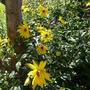 Sunny Helianthus (Helianthus tuberosus (Aguaturma))