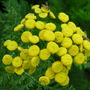 Golden Tansy (Tanacetum vulgare (Common tansy))