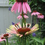 various stages (echinacea)