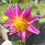 Pink Stargazeer Dahlia in the sun