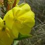 Wild_flowers_mudeford_dorset_2_070809