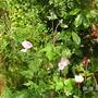 Japanese_anemone