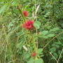Wild rose with red petals that are like feathers.