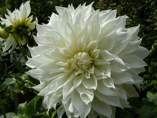 dahlia 39 fleur 39 grows on you. Black Bedroom Furniture Sets. Home Design Ideas