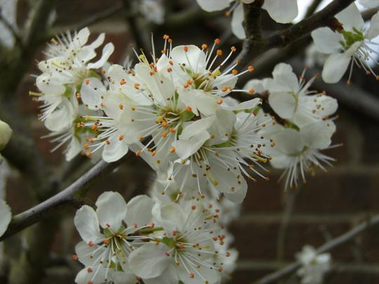 apr blossom on my plum tree