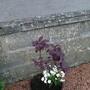 Cottinus (Cotinus coggygria (Smoke bush))