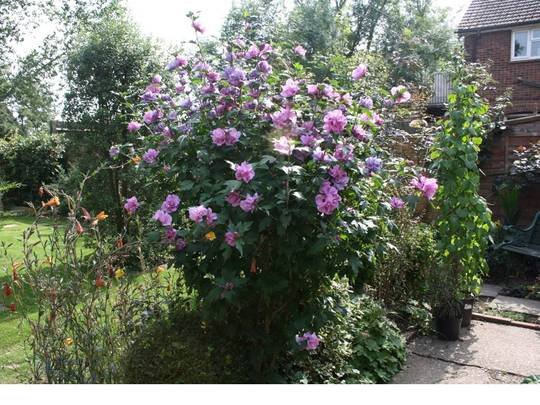 Hibiscus Ardens Grows On You