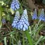apr Muscari (Muscari botryoides (Grape hyacinth))