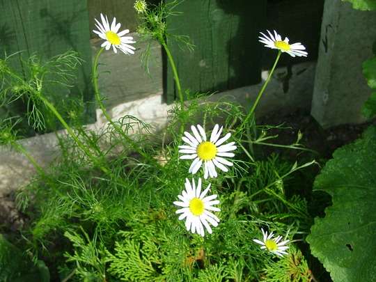 camomile, named by amy