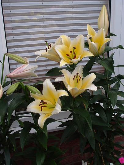 """Manisa"" (Tree lily)"