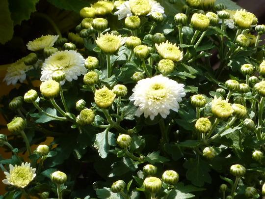 CHRYSANTHEMUM - Gardenmum White