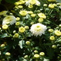 CHRYSANTHEMUM - Gardenmum White