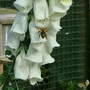 digitalis giant spotted