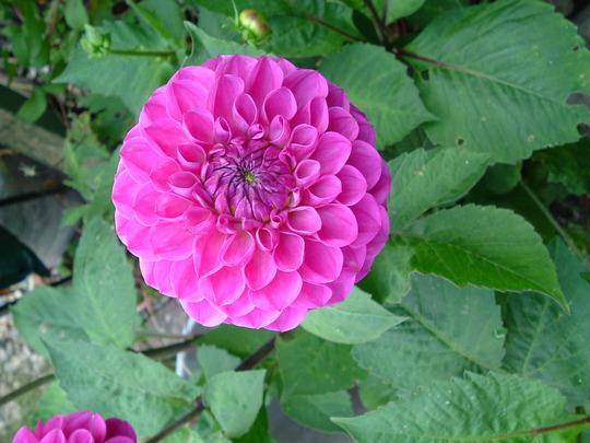 Marston Lilac (Dahlia)