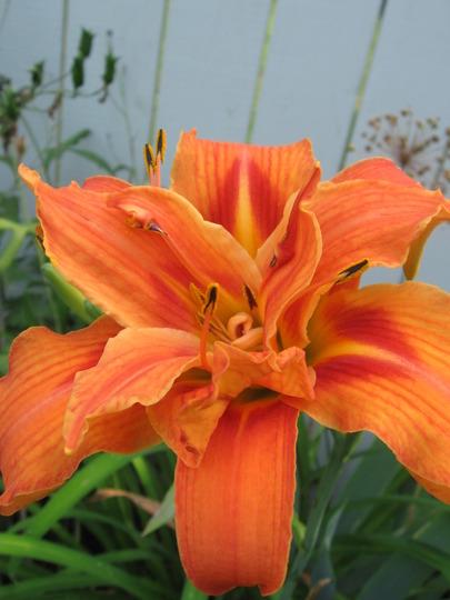 tawny daylily (hemerocallis)