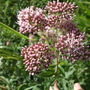 _native_eupatorium_cannabinum
