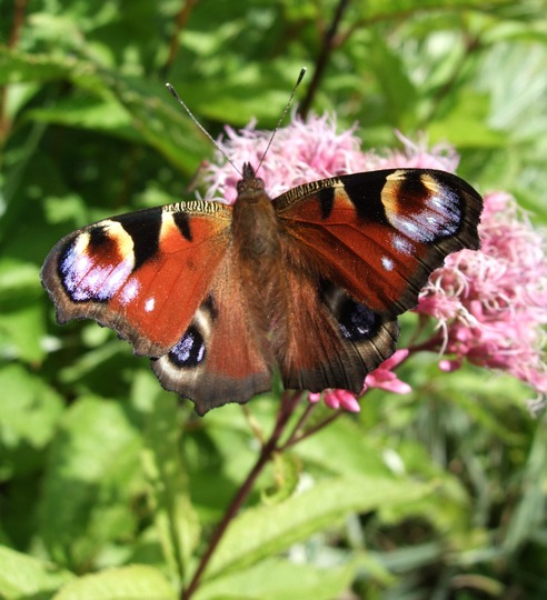 Peacock butterfly on Eupatorium purpureum. (Eupatorium purpureum (Purple Joe Pye weed))