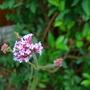 Verbena Boniaris