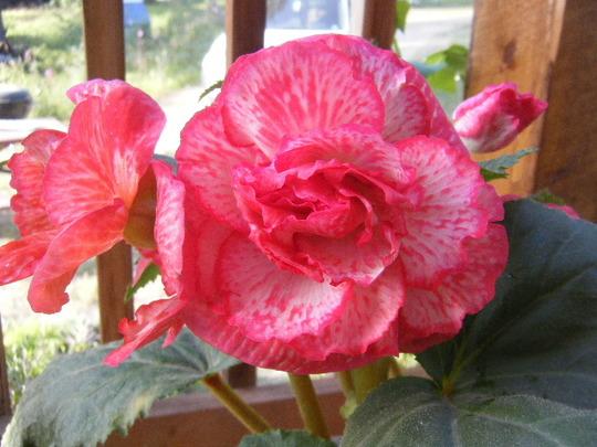 Nice Begonia Bloom