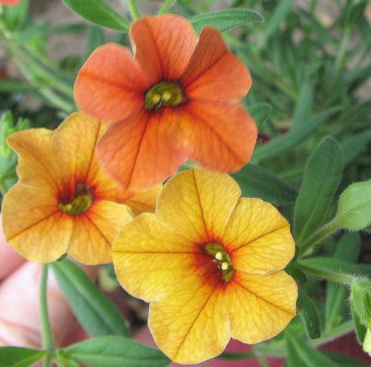 Calibrachoa hybrid - Tangerine 'Sunbelore'  (Million Bells - Orange Chimes) (Calibrachoa hybrid - Tangerine 'Sunbelore')