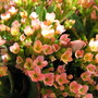 Kalanchoe_blossfeldiana_orange_2