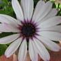Osteospermum_ecklonis_passion_african_daisy_