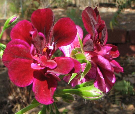 Pelargonium Peltatum - Ivy Geraniums (Pelargonium peltatum (Hanging Geranium))