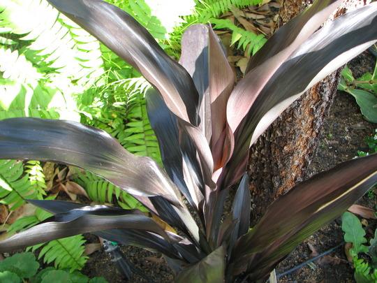 Cordyline Fruticosa 'Caruba Black' (Cordyline fruticosa)