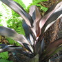 Cordyline_fruticosa_caruba_black_