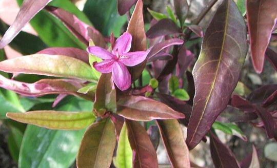 Barleria 'Purple Gem' (Barleria Obtusa)