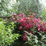 Viticella mme Julia Correvon (Clematis viticella (Viticella Group clematis))