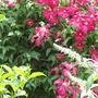 Garden_021.jpg (Viticella mme Julia Correvon)